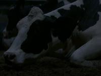 El descanso de las vacas